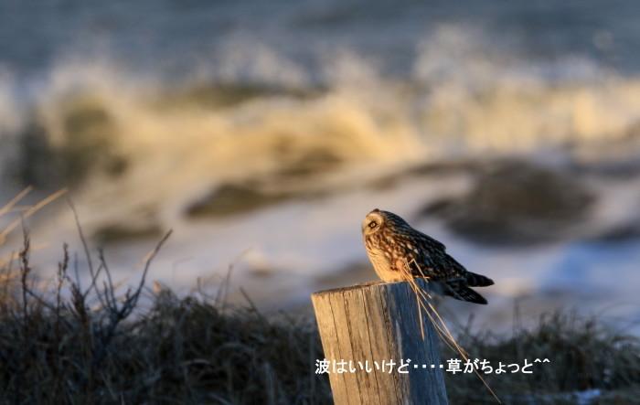 海・・コミミズクとシロハヤブサ_c0229170_21485536.jpg