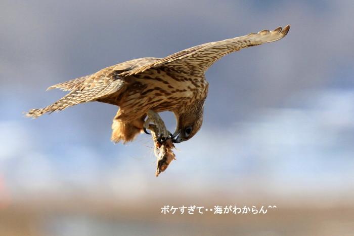 海・・コミミズクとシロハヤブサ_c0229170_21510412.jpg