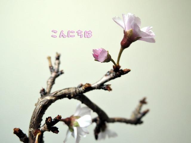今日の黒岡さくら_c0062832_16451299.jpg