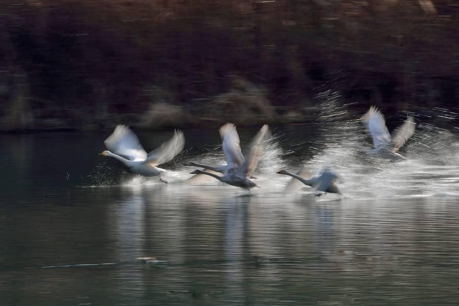 白鳥 ④_b0223668_11165019.jpg