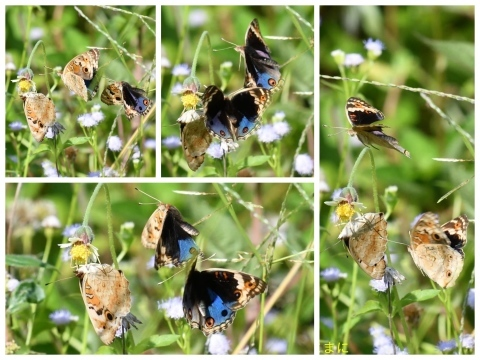 元旦 AM ホテルの周りの蝶たち_d0285540_19322134.jpg