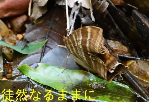 大晦日の蝶たち  in ランカウイ島_d0285540_20261424.jpg