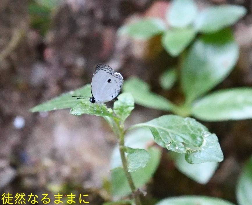 大晦日の蝶たち  in ランカウイ島_d0285540_20262846.jpg
