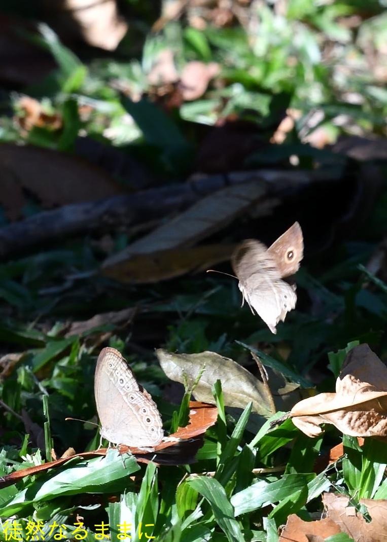 大晦日の蝶たち  in ランカウイ島_d0285540_20263939.jpg