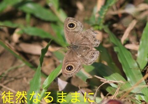 大晦日の蝶たち  in ランカウイ島_d0285540_20264800.jpg