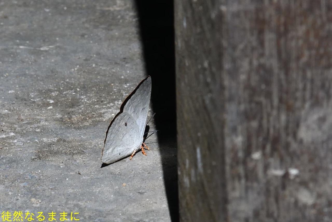 大晦日の蝶たち  in ランカウイ島_d0285540_20280248.jpg