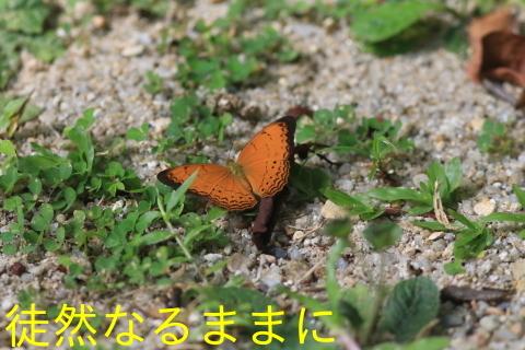 大晦日の蝶たち  in ランカウイ島_d0285540_20314528.jpg