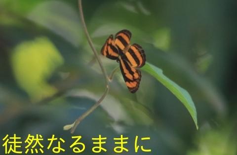 大晦日の蝶たち  in ランカウイ島_d0285540_20315084.jpg