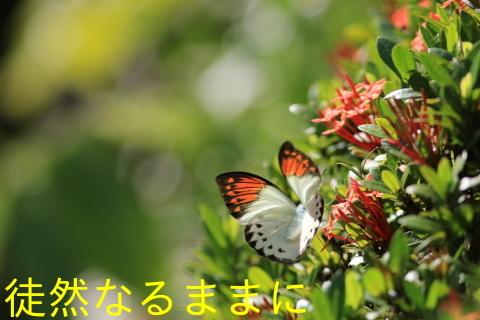 大晦日の蝶たち  in ランカウイ島_d0285540_20315302.jpg