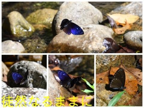 大晦日の蝶たち  in ランカウイ島_d0285540_20315849.jpg