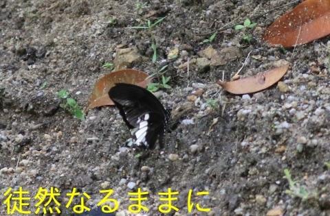 大晦日の蝶たち  in ランカウイ島_d0285540_20320226.jpg