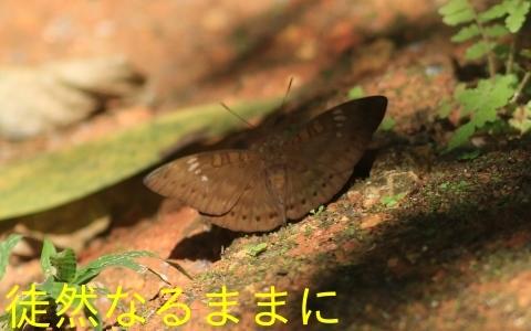 大晦日の蝶たち  in ランカウイ島_d0285540_20320518.jpg
