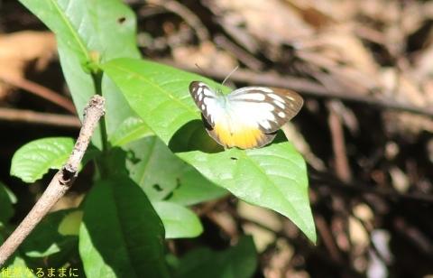 大晦日の蝶たち  in ランカウイ島_d0285540_20320966.jpg