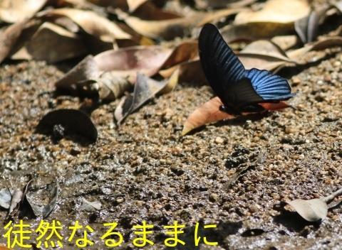 大晦日の蝶たち  in ランカウイ島_d0285540_20323450.jpg