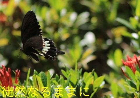大晦日の蝶たち  in ランカウイ島_d0285540_20324286.jpg
