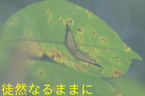 大晦日の蝶たち  in ランカウイ島_d0285540_20324629.jpg