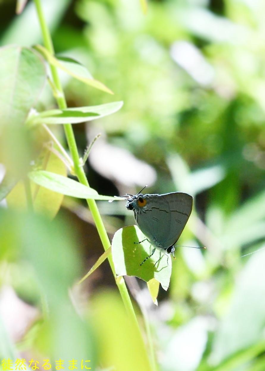 大晦日の蝶たち  in ランカウイ島_d0285540_20331277.jpg