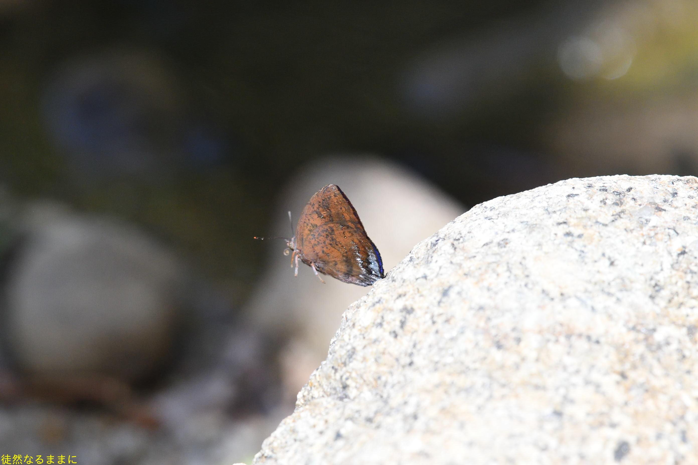 大晦日の蝶たち  in ランカウイ島_d0285540_20331862.jpg