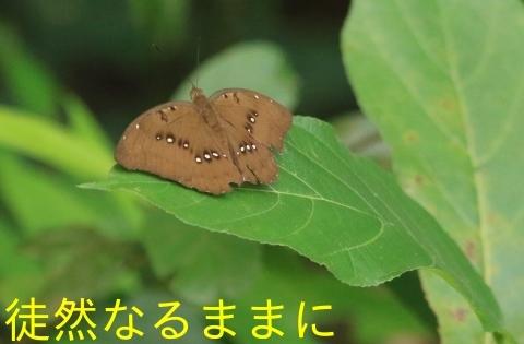 大晦日の蝶たち  in ランカウイ島_d0285540_20334857.jpg