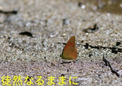 大晦日の蝶たち  in ランカウイ島_d0285540_20335432.jpg