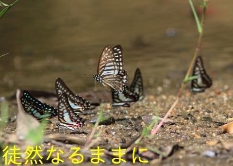 大晦日の蝶たち  in ランカウイ島_d0285540_20342171.jpg