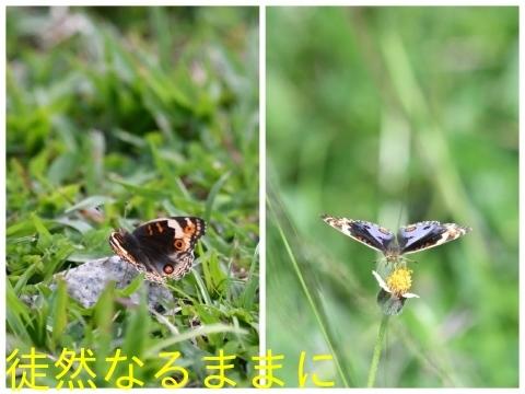 大晦日の蝶たち  in ランカウイ島_d0285540_20342425.jpg