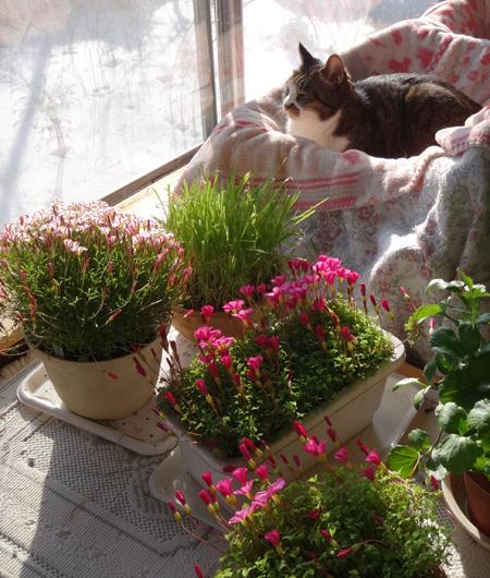 猫部屋のシボリカタバミ(バーシーカラー)、ミャンハウスのパンジーなど♪_a0136293_16420895.jpg