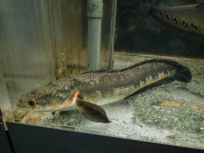 ナイフフィッシュとスネークヘッド(東京タワー水族館)_b0355317_22184232.jpg