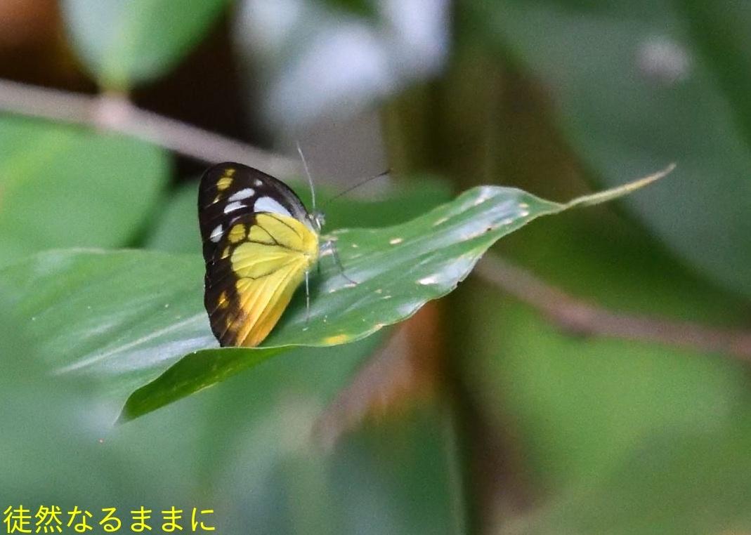 大晦日の蝶たち  in ランカウイ島_d0285540_21335916.jpg
