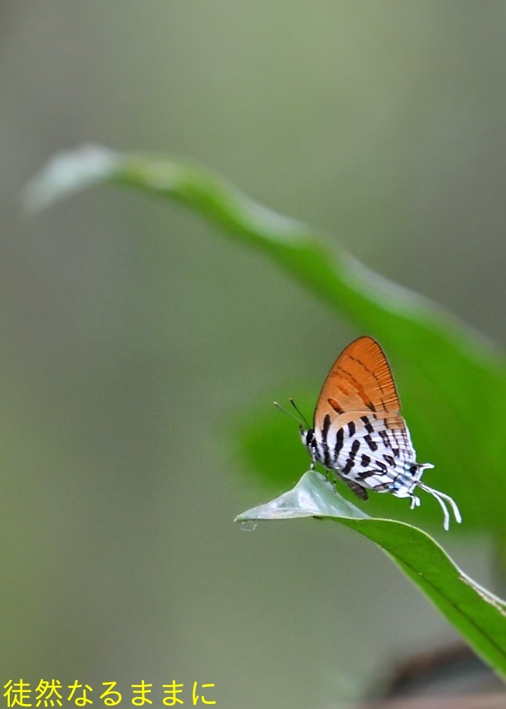 大晦日の蝶たち  in ランカウイ島_d0285540_21390730.jpg