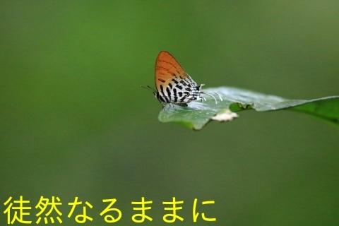大晦日の蝶たち  in ランカウイ島_d0285540_21394784.jpg