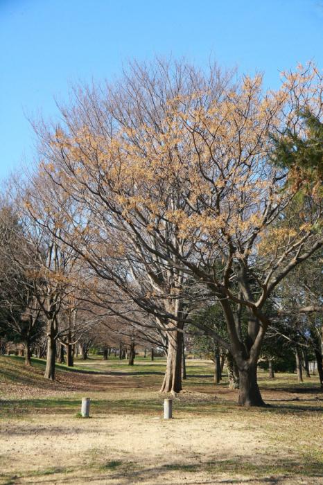 府中市 武蔵野の森公園のセンダン_e0165983_12133148.jpg