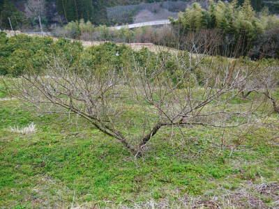 山あいの南高梅 冬の剪定2019 その1:弱い枝に元気な花を咲かせ南高梅の果実を実らせます!_a0254656_16574402.jpg