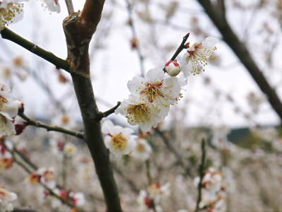 山あいの南高梅 冬の剪定2019 その1:弱い枝に元気な花を咲かせ南高梅の果実を実らせます!_a0254656_17321981.jpg