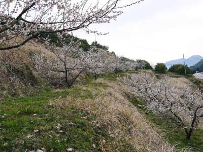 山あいの南高梅 冬の剪定2019 その1:弱い枝に元気な花を咲かせ南高梅の果実を実らせます!_a0254656_17354237.jpg