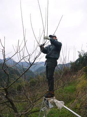 山あいの南高梅 冬の剪定2019 その1:弱い枝に元気な花を咲かせ南高梅の果実を実らせます!_a0254656_17404616.jpg
