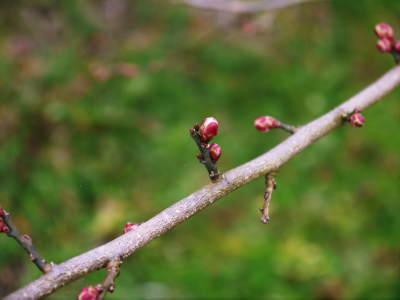 山あいの南高梅 冬の剪定2019 その1:弱い枝に元気な花を咲かせ南高梅の果実を実らせます!_a0254656_17452820.jpg