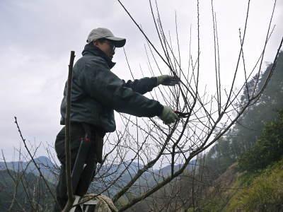 山あいの南高梅 冬の剪定2019 その1:弱い枝に元気な花を咲かせ南高梅の果実を実らせます!_a0254656_17583468.jpg