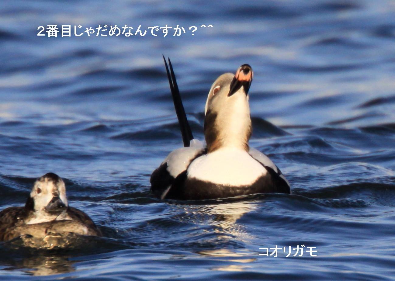 食べておいしい^^シノリガモ シロハヤブサ^^_c0229170_21430374.jpg
