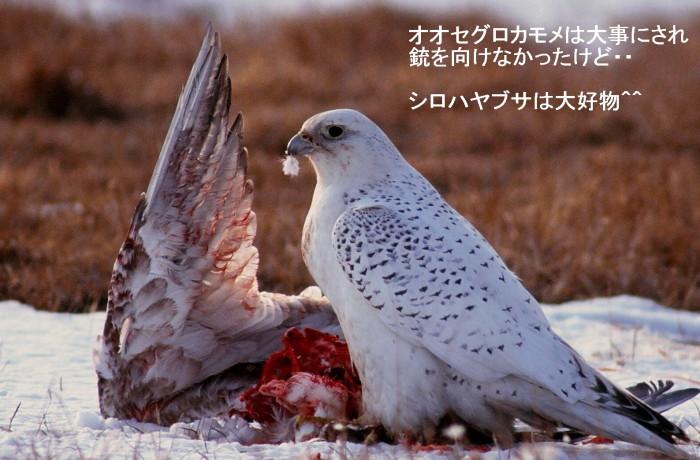 食べておいしい^^シノリガモ シロハヤブサ^^_c0229170_21431674.jpg