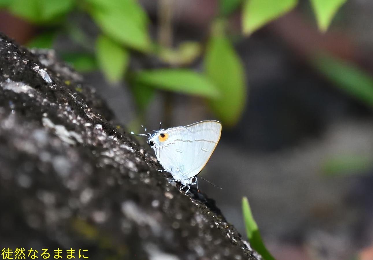 大晦日の蝶たち  in ランカウイ島_d0285540_07084010.jpg