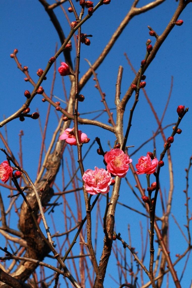 青空に向かって紅梅の花が_a0107574_16470673.jpg