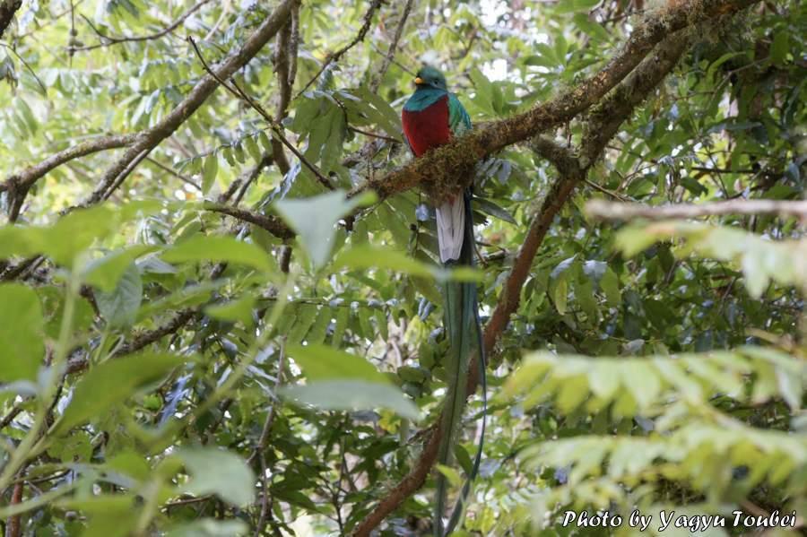 コスタリカ 火の鳥のモデル ケツァール  とことん写真