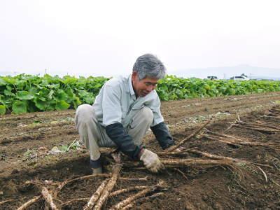 有機栽培の水田ごぼう 現在の発芽の様子と水田での栽培ならではのごぼうなんです!(前編)_a0254656_16431993.jpg