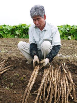 有機栽培の水田ごぼう 現在の発芽の様子と水田での栽培ならではのごぼうなんです!(前編)_a0254656_17164087.jpg