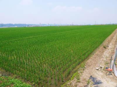 有機栽培の水田ごぼう 現在の発芽の様子と水田での栽培ならではのごぼうなんです!(前編)_a0254656_17211223.jpg