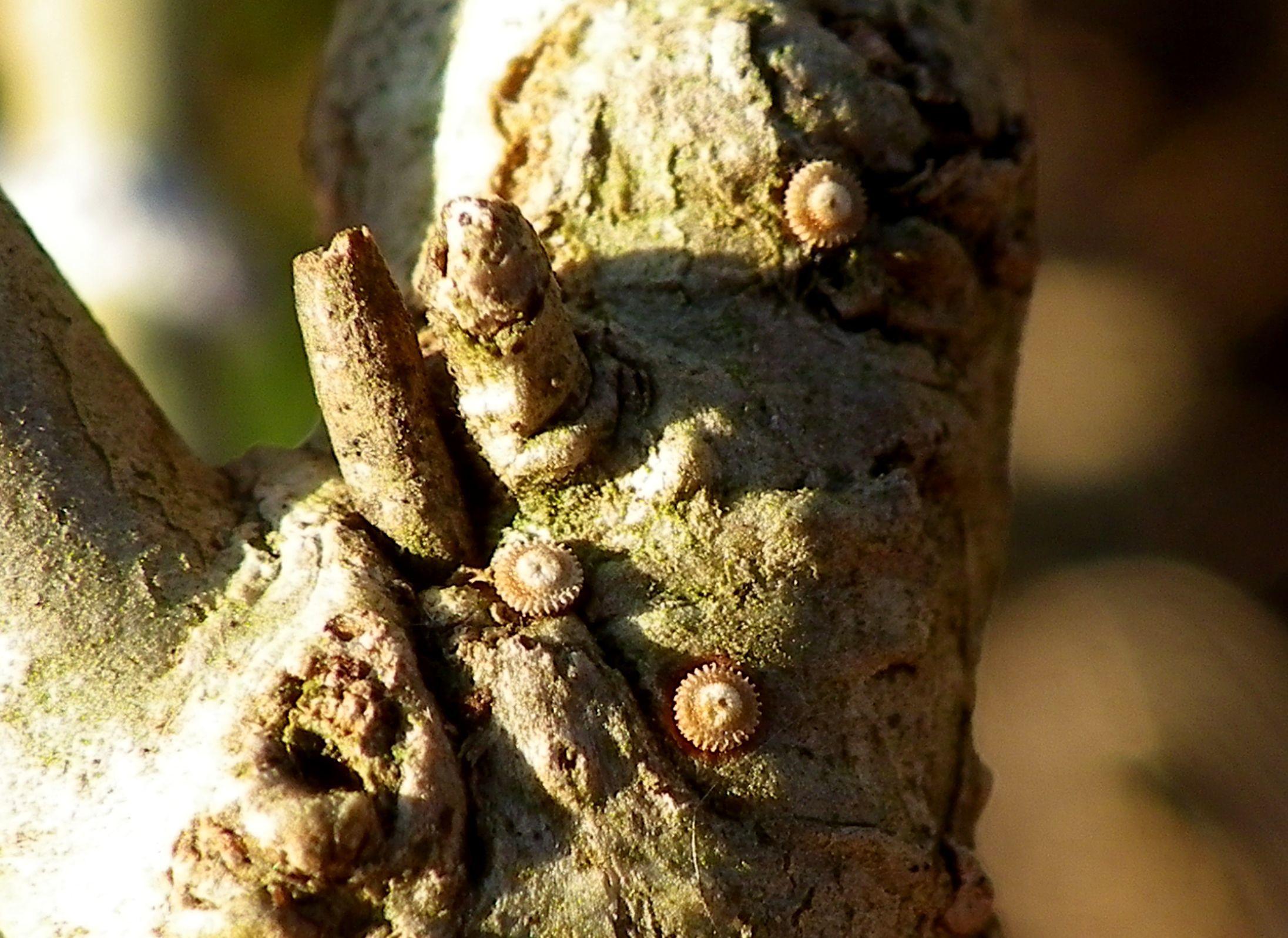 ウラゴマダラシジミ卵他 1月19日_d0254540_16045428.jpg
