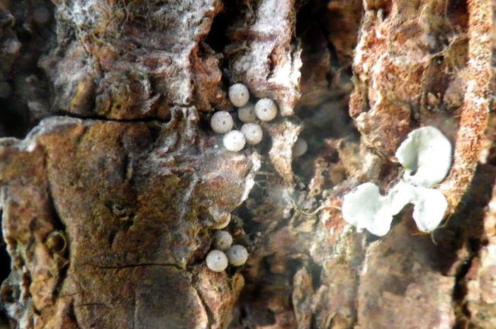 ウラゴマダラシジミ卵他 1月19日_d0254540_16121192.jpg