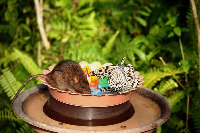 仲良く蜜を分け合うオオゴマダラと鼠?_d0149245_15421648.jpg