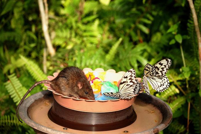仲良く蜜を分け合うオオゴマダラと鼠?_d0149245_15423119.jpg
